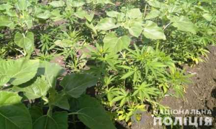 Операції «Мак» поліцейські знищили понад 7 тис. рослин конопель