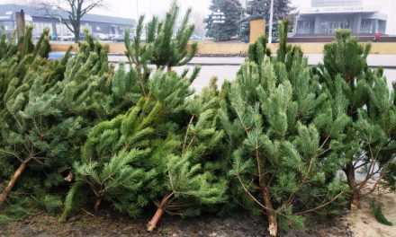 Где и за сколько можно будет купить новогоднюю ёлку в Павлограде?