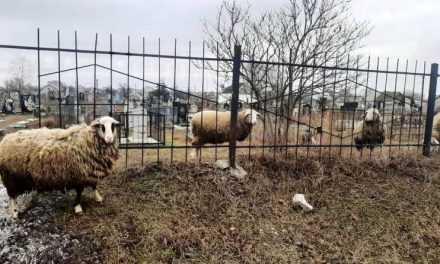 В Павлограде овцы паслись на еврейском кладбище